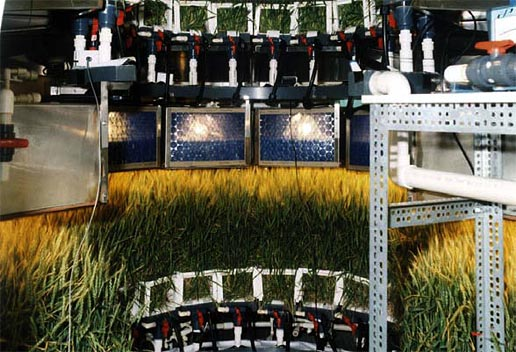 NASA researchers have tested dwarf wheat in confined quarters