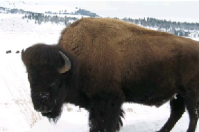 A buffalo standing in the snow