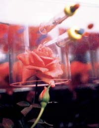 Miniature Rose Growing in ASTROCULTURE