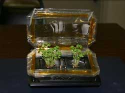 Basil plants grown from seeds, on Earth, in a simple plant growth chamber.