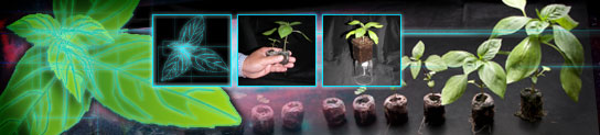 A montage of basil plants at various stages of growth