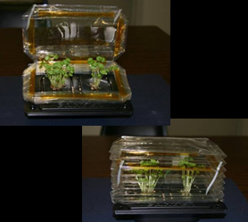 Photos of basil plants growing in small, collapsible plant growth chambers similar to the ones on the STS-118 mission