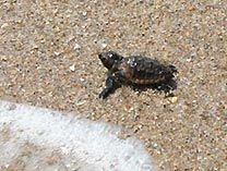 Sea turtle hatchling heads for the ocean.