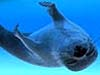 Picture of a harp seal swimming upside down in a deep blue ocean