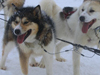 Photo of sled dogs