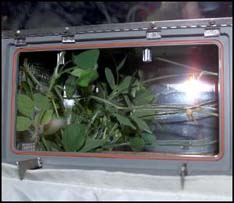 Plants being grown on the ISS.