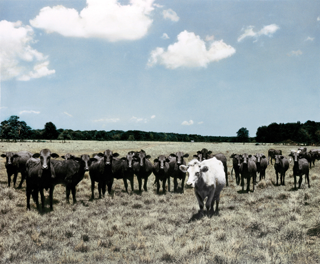 Cattle call - Cows grazing where NASA's Manned Space Flight Center was built.