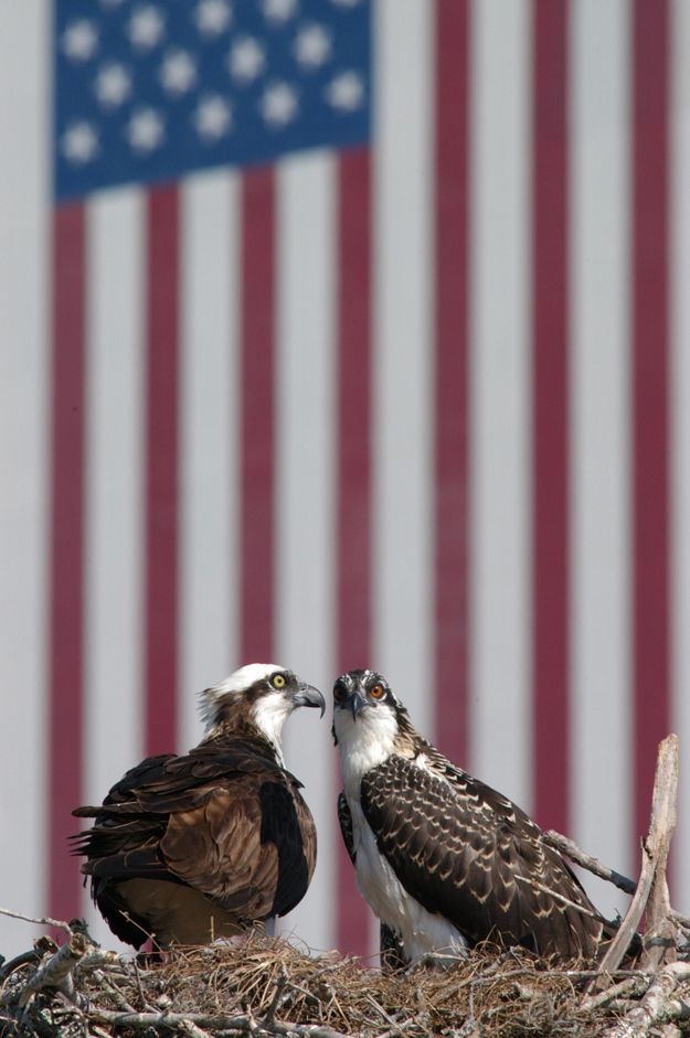 Where ospreys dare - A mother osprey (left) sits protectively next to one of her chicks in a nest situated at the top of a pole in the Kennedy Space Center's NASA News Center parking lot. Behind the nest is the flag painted on the Vehicle Assembly Building. Osprey nests are found throughout the Kennedy Space Center and nearby Merritt Island National Wildlife Refuge. Photo credit-NASA/George Shelton