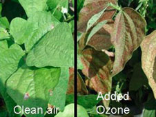 A snap bean plant exposed to clean air (left) is healthy, while a plant exposed to ozone (right) is showing injury.