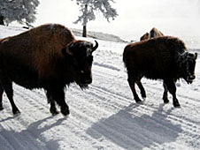 Two bison walking on a snow-covered path