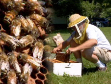 Composite image of honeybees on honeycomb and beekeeper opening hive