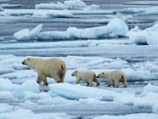 Image of three polar bears