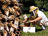 Composite image of honeybees on a honeycomb and a beekeeper opening a hive