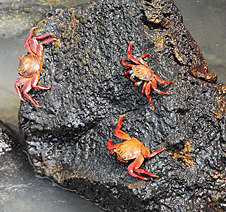 Bright orange crabs rest on a black rocky shore
