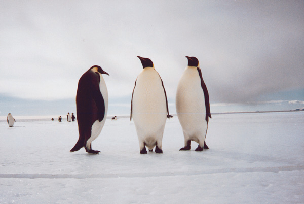West Antarctica is a series of islands covered by ice. Think of it as a frozen Hawaii, with penguins
