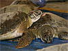 Rescued green sea turtles