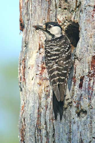 More than 20 years after the red cockaded woodpecker suffered population losses due in part to major destruction of a critical habitat, the longleaf pine ecosystem, during category 5 storm Hugo in 1989, the U.S