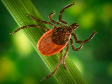The blacklegged tick, shown here, is known as one of the disease transmitting organisms for Lyme disease.