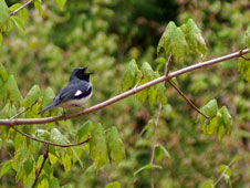 Image of a Black throated blue warbler bird