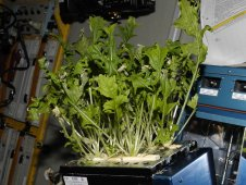Mizuna lettuce growing aboard the International Space Station before being harvested and frozen for return to Earth.