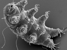 A tardigrade is seen through an electron microscope.