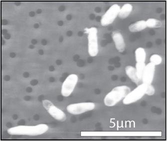 Image of GFAJ-1 grown on phosphorus (Image: Jodi Switzer Blum)