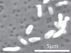 Image of GFAJ-1 grown on phosphorous (click to embiggen)