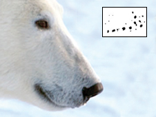 image of polar bears and their distinctive whisker spots