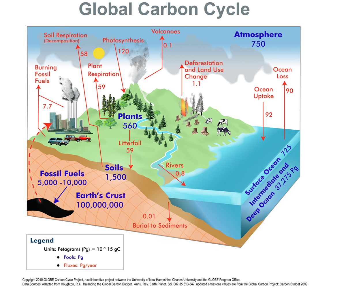 discuss how humans impact each cycle carbon phosphorus and nitrogen On the one hand, microorganisms are beneficial to humans by their roles in the various geochemical cycles such as the phosphorous cycle, carbon and oxygen cycles, nitrogen cycles, and sulfur cycle without them, the earth will not be livable to humans.