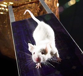 A mouse-astronaut candidate poses atop a model solar panel. Credit: MarsGravity.org