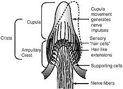 Drawing of the crista within the ear showing labels of the various parts