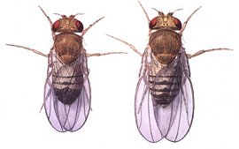 Side by side, a female and a male fruit fly.