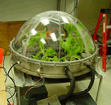 An experiment related to Ferl's: Lettuce growing in a low-pressure dome at the Kennedy Space Center.