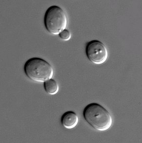 Sacharomyces cerevisiae cells in DIC microscopy at room temperature