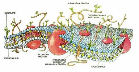 Cartoon of a typical cell membrane.