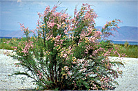 Photograph of a tamarisk plant