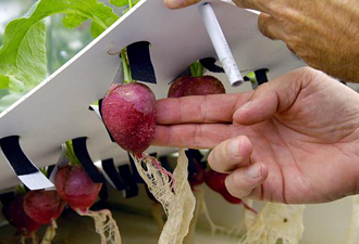 Radishes Grown Hydroponically Plants