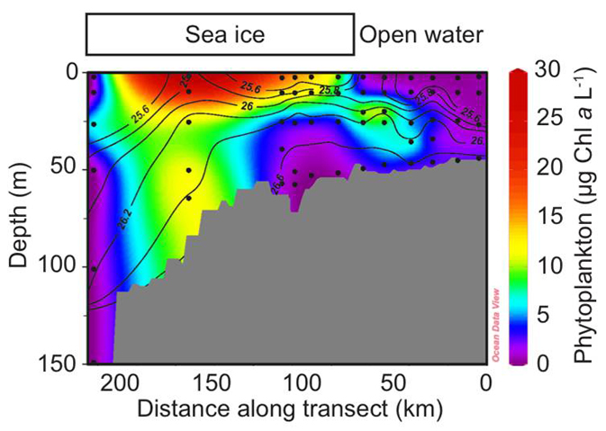 Plot showing how phytoplankton abundance varies with depth along a transect from open water (right) to under the ice (left).