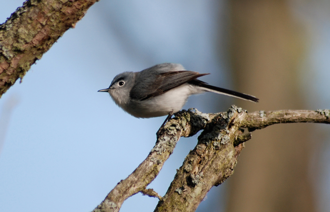 The Blue-gray Gnatcatcher migrates from North America to Central America, preferring deciduous wooded areas.