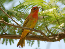 The Summer Tanager winters in Central and South America. Males are entirely red and females (shown here) are primarily a dull yellow.