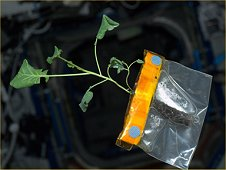 Zucchini taking root inside of a plastic baggie aboard the International Space Station gains celebrity status in the Diary of a Space Zucchini blog. (NASA)