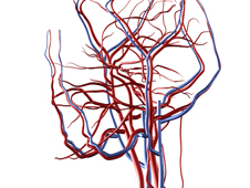 complex network of veins and arteries that carry blood to and from the brain.