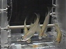 The above image shows an Aquatic Habitat, or AQH, specimen chamber housing Medaka fish for study.