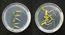 Plant seedlings in petri dishes.