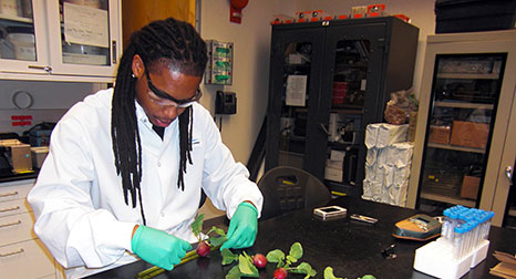 Dr. Matthew Mickens measures radish plants.
