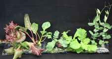 A selection of crop plants grown in VEGGIE test pillows