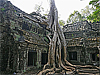 Spung trees grow out of the ruins of an ancient temple
