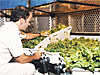 Man checks lettuce growing in hydroponic chamber