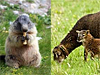 Marmot eating an apple core and a mother sheep with her lamb
