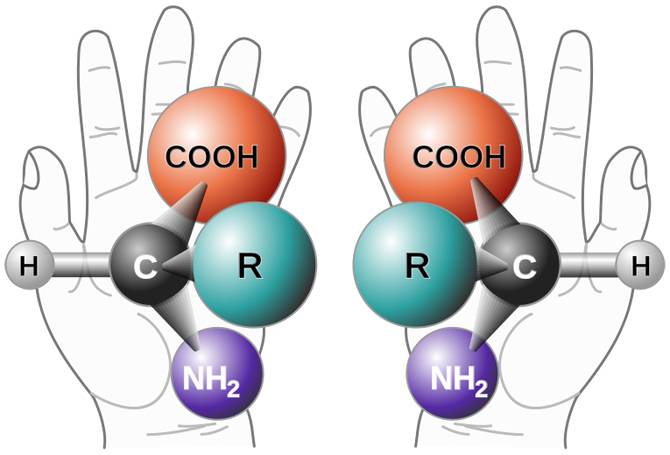 An example of chirality of amino acids, using hands to illustrate how the molecules are mirror images of each other.